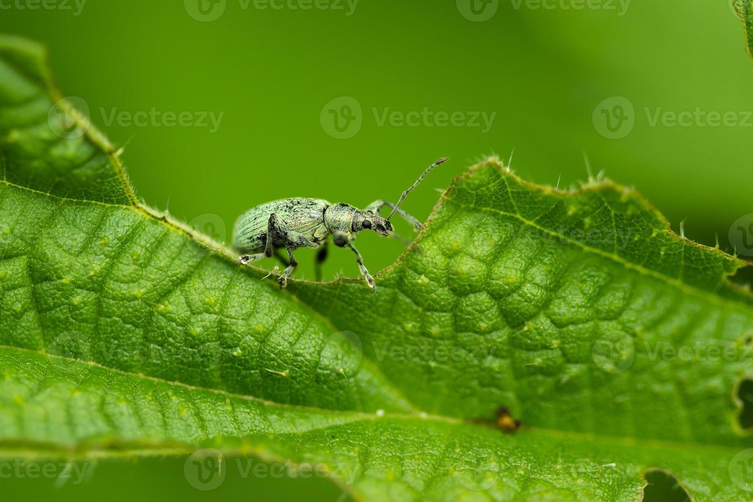 Rüsselkäfer auf Blatt foto