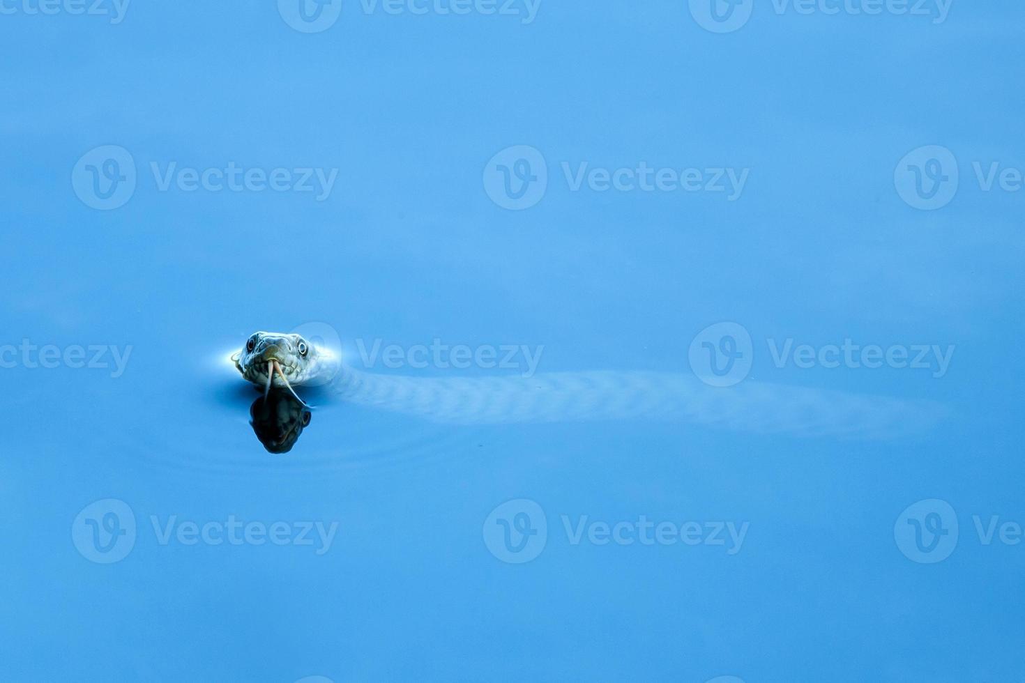 Europäische Grasschlange, die im Wasser schwimmt. foto