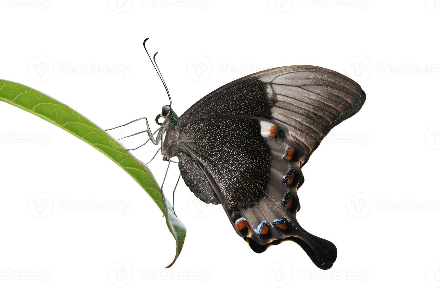 Smaragd Pfau Schwalbenschwanz Schmetterling foto