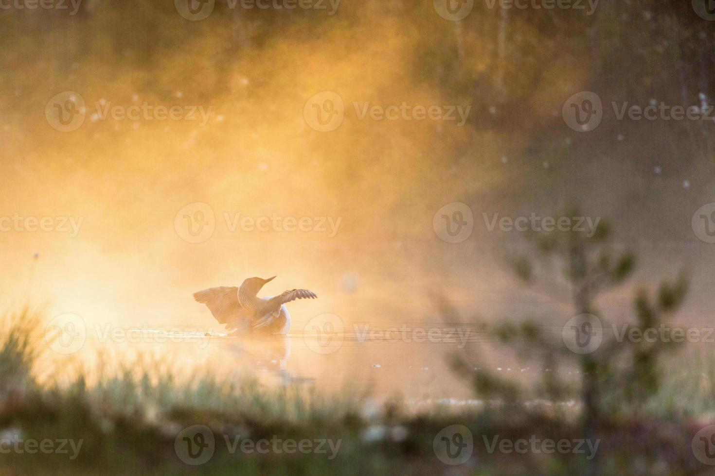 Rotkehl-Idiot im Nebel foto