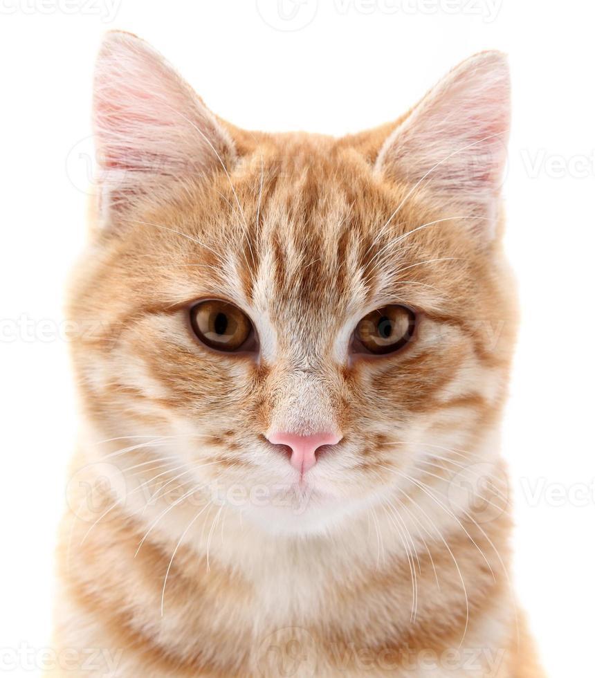 rotes Katzenporträt auf weißem Hintergrund foto