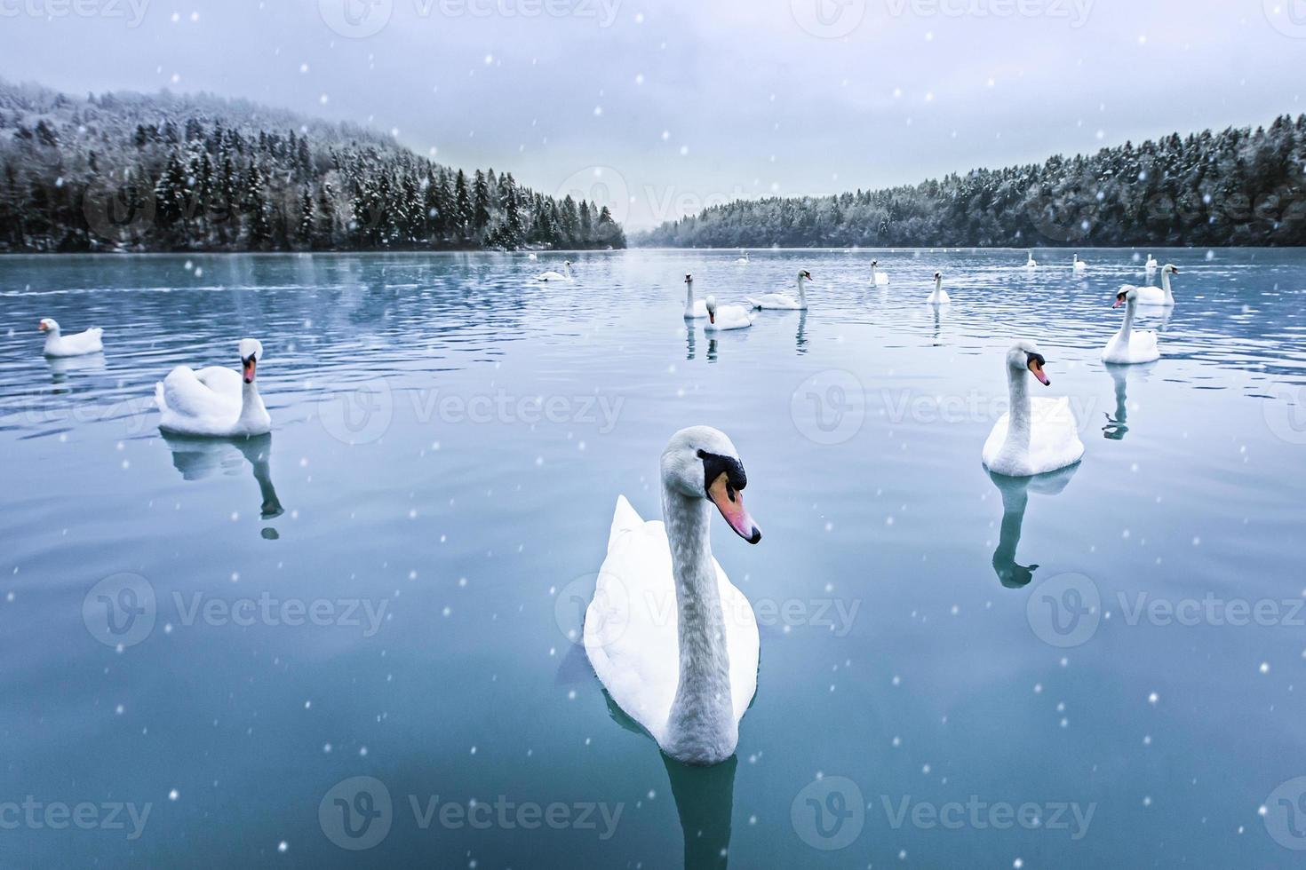 Schwäne, Schnee, See, Winter foto