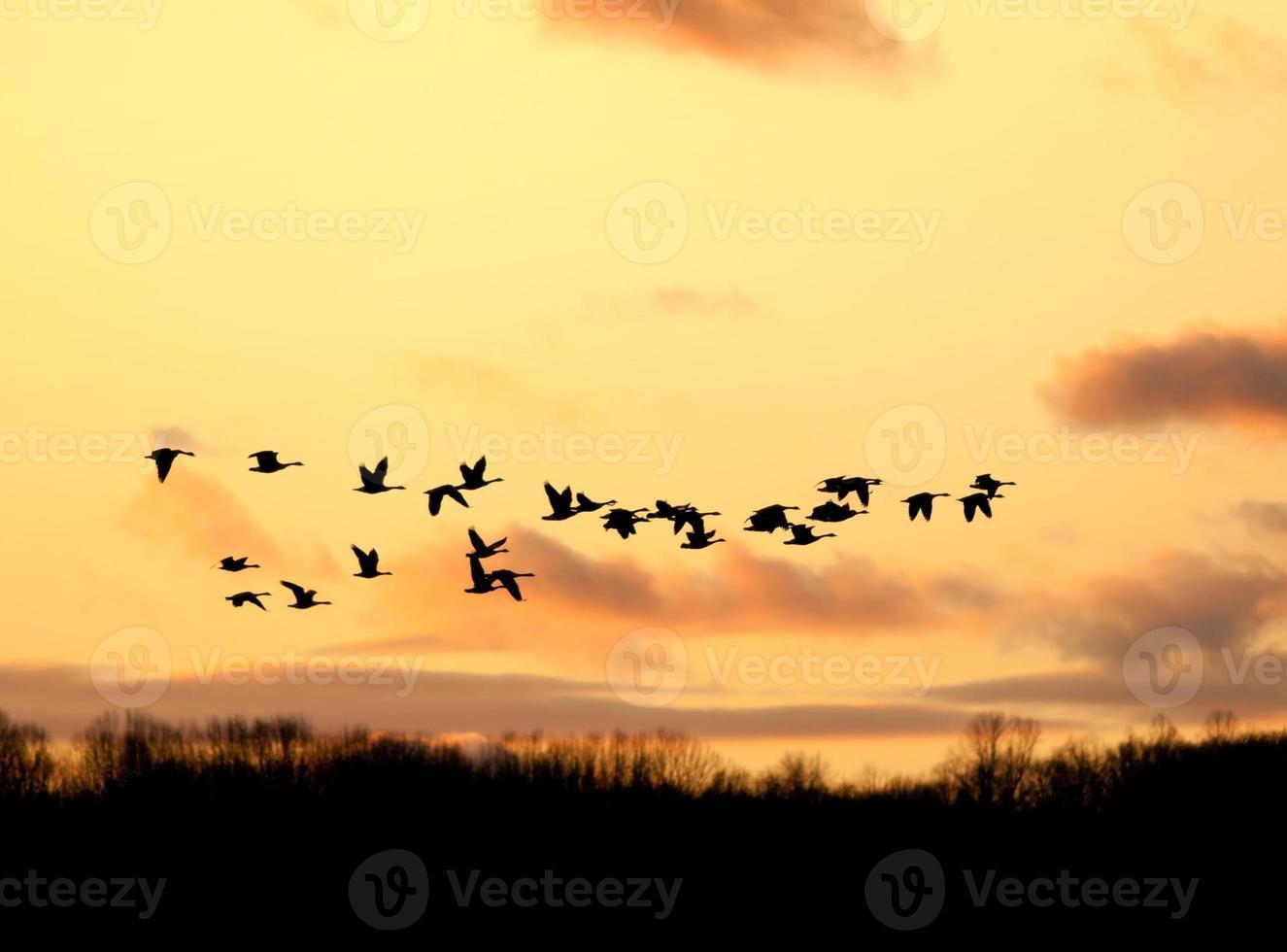 Kanadische Gänse fliegen in den Sonnenuntergang foto