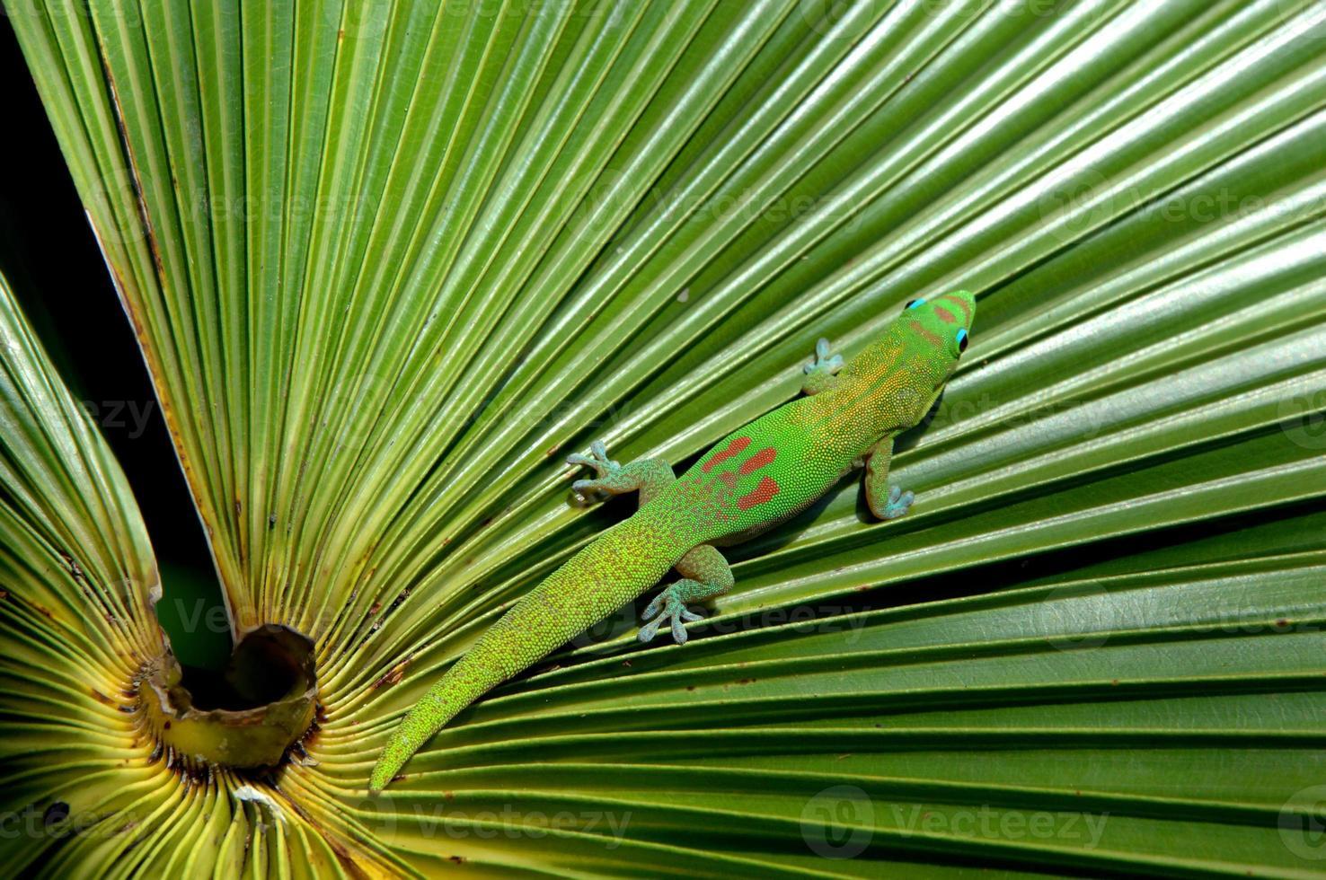 getarnter Gecko foto