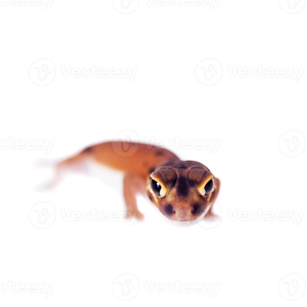 blasser Gecko mit Knaufschwanz, Nephrurus laevissimus, auf Weiß foto