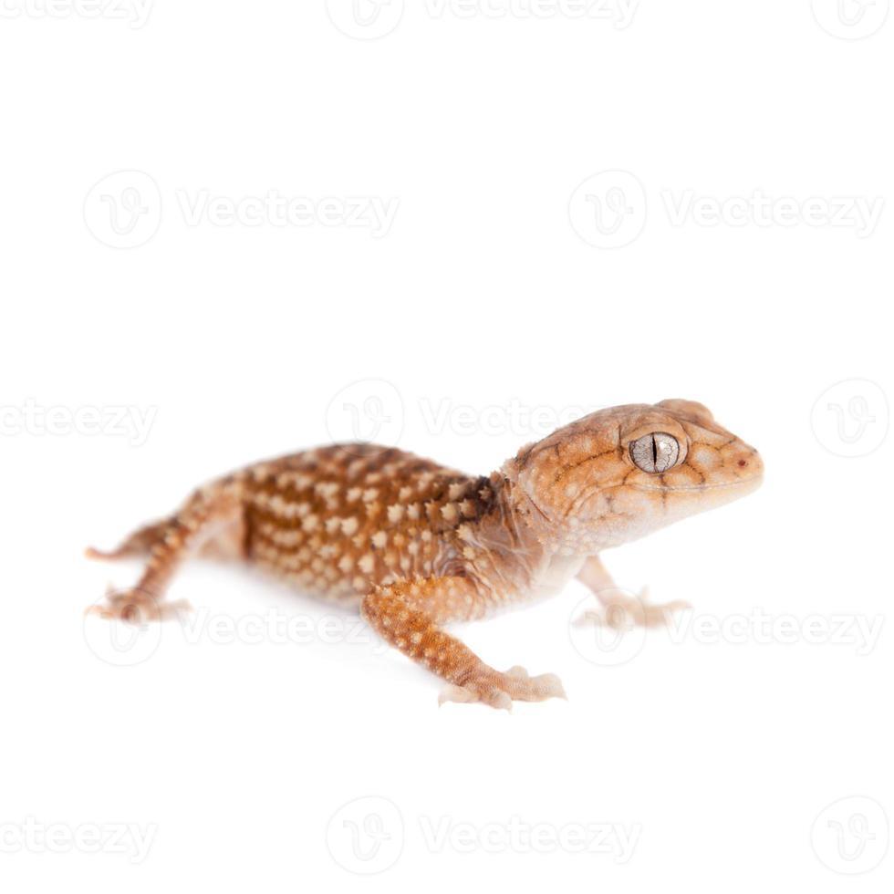 rauer Gecko mit Knaufschwanz isoliert auf Weiß foto