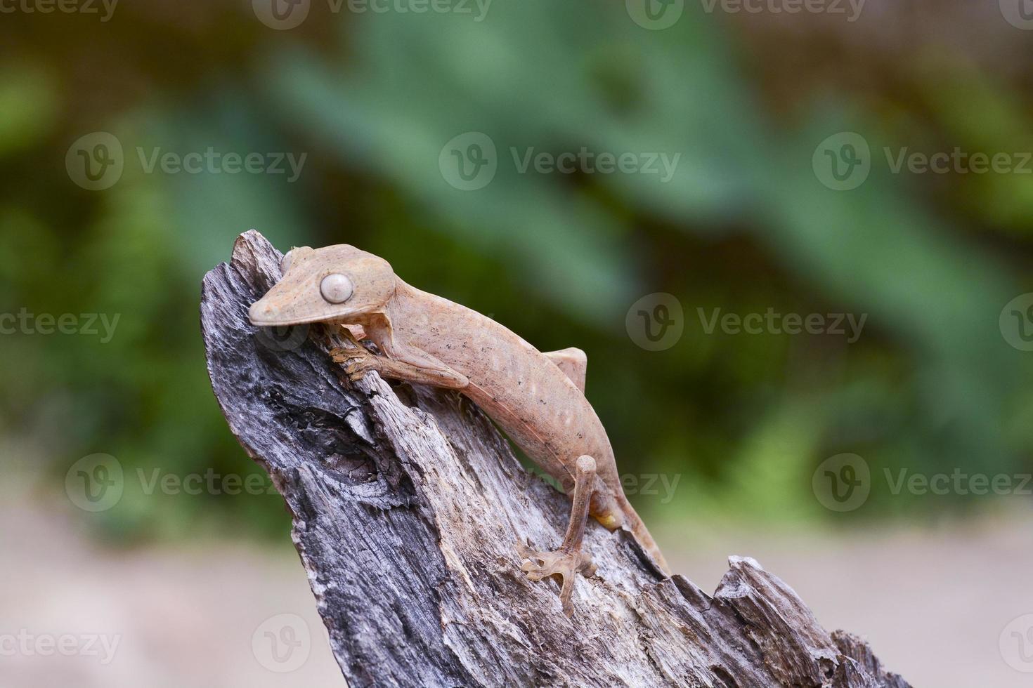 gefütterter Blattschwanzgecko (Uroplatus), Marozevo, Madagaskar foto