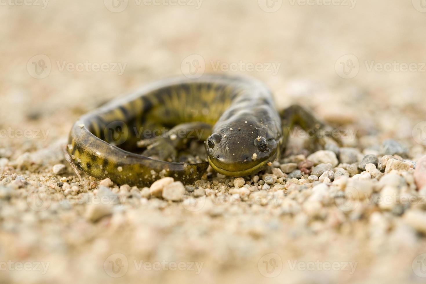 Nahaufnahme Tigersalamander foto