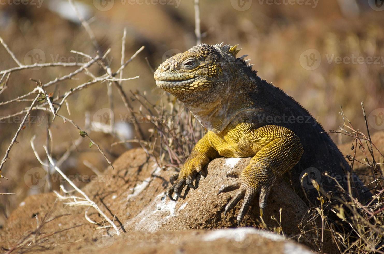 Galapagos Insel Land Leguan - conolophus subcristatus foto