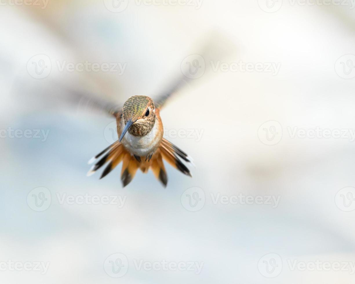 fliegender Kolibri foto