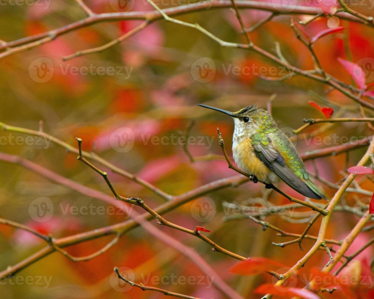 Rufus Kolibri sitzen foto