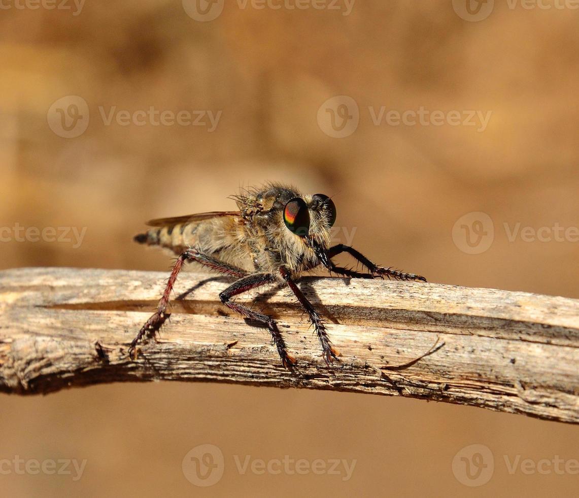 Efferia albibarbis auf einem trockenen Ast foto