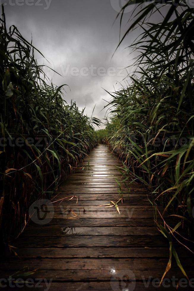 Holzweg durch das Schilf foto