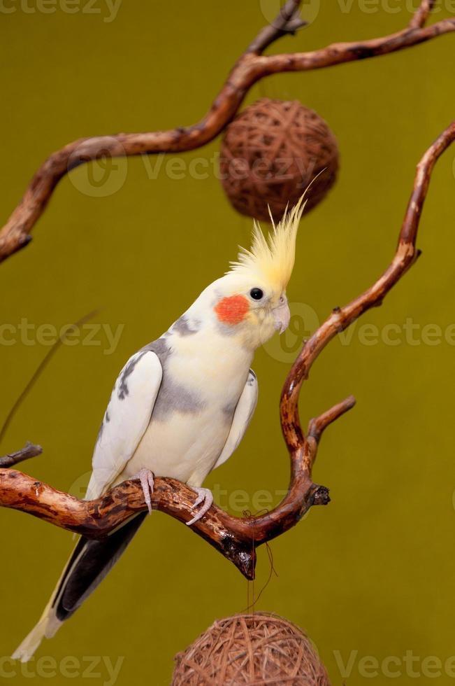 Nymphensittich Papagei foto