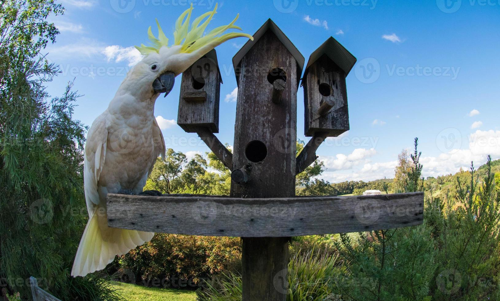 Kakadu mit Schwefelhaube beobachten foto
