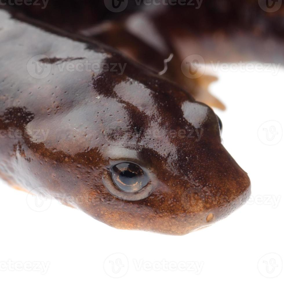 Amphibiensalamander Molch foto