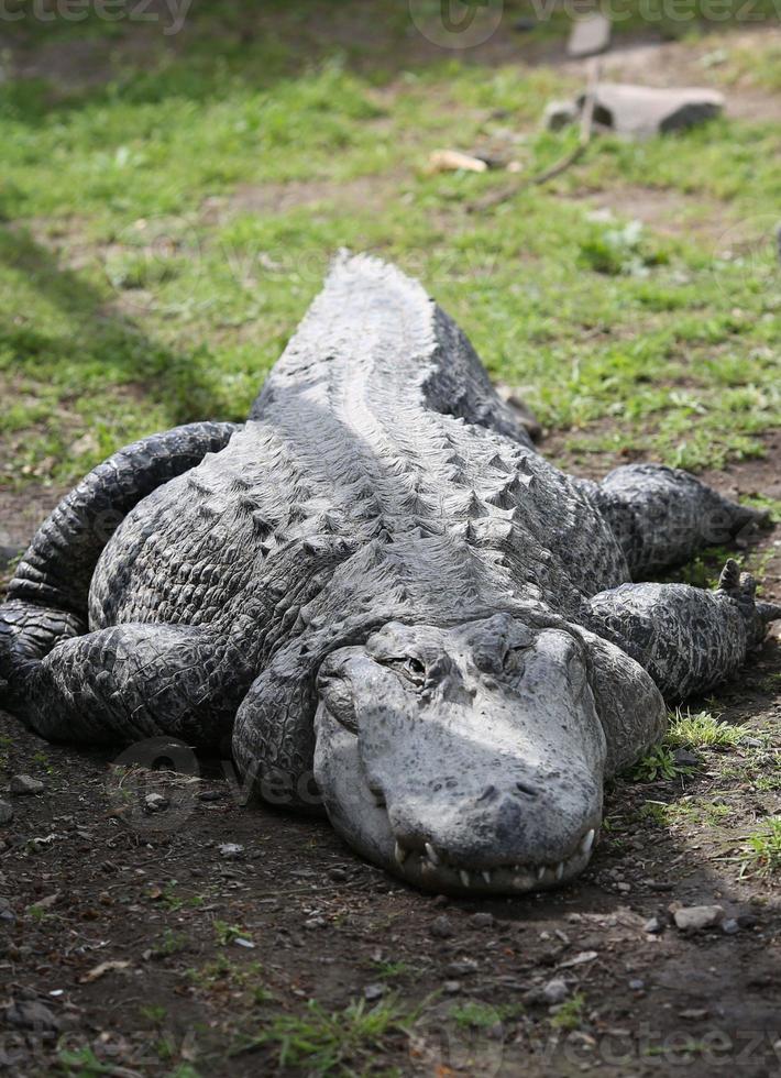 großes Krokodil an Land foto