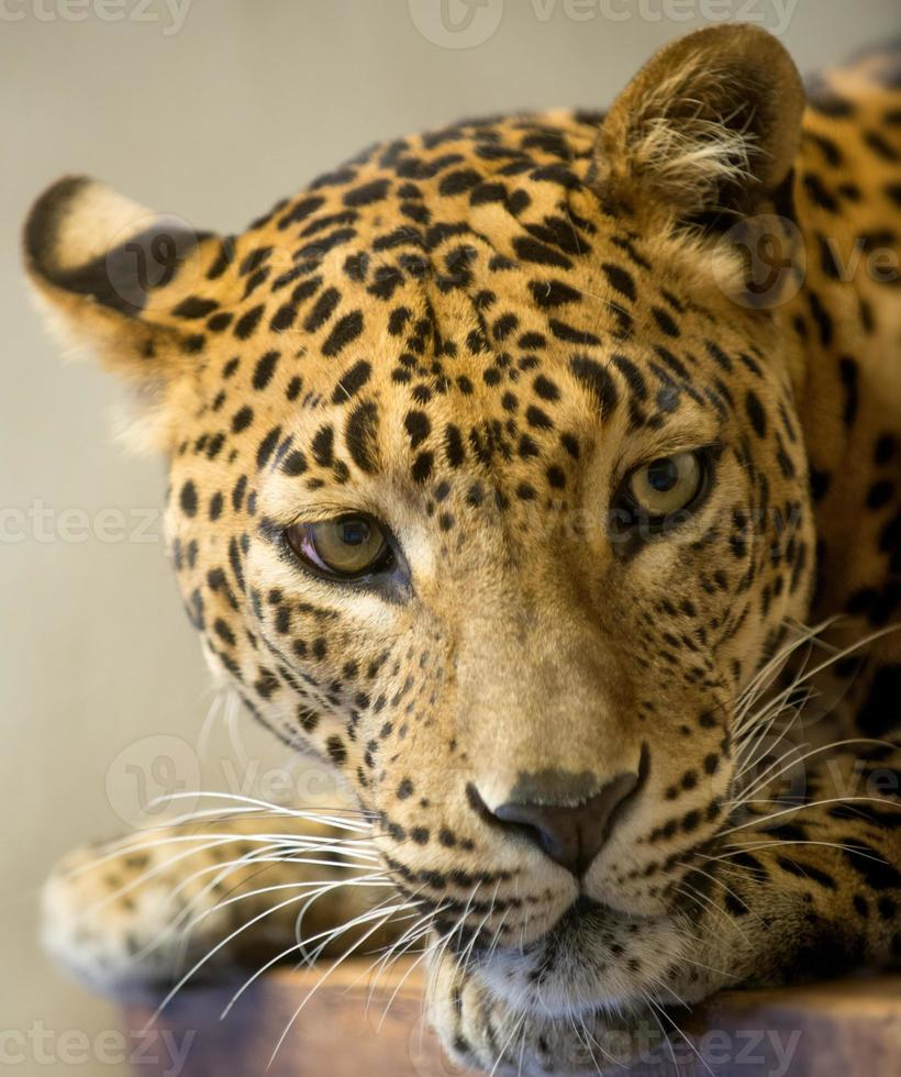 Leopardenkopf foto