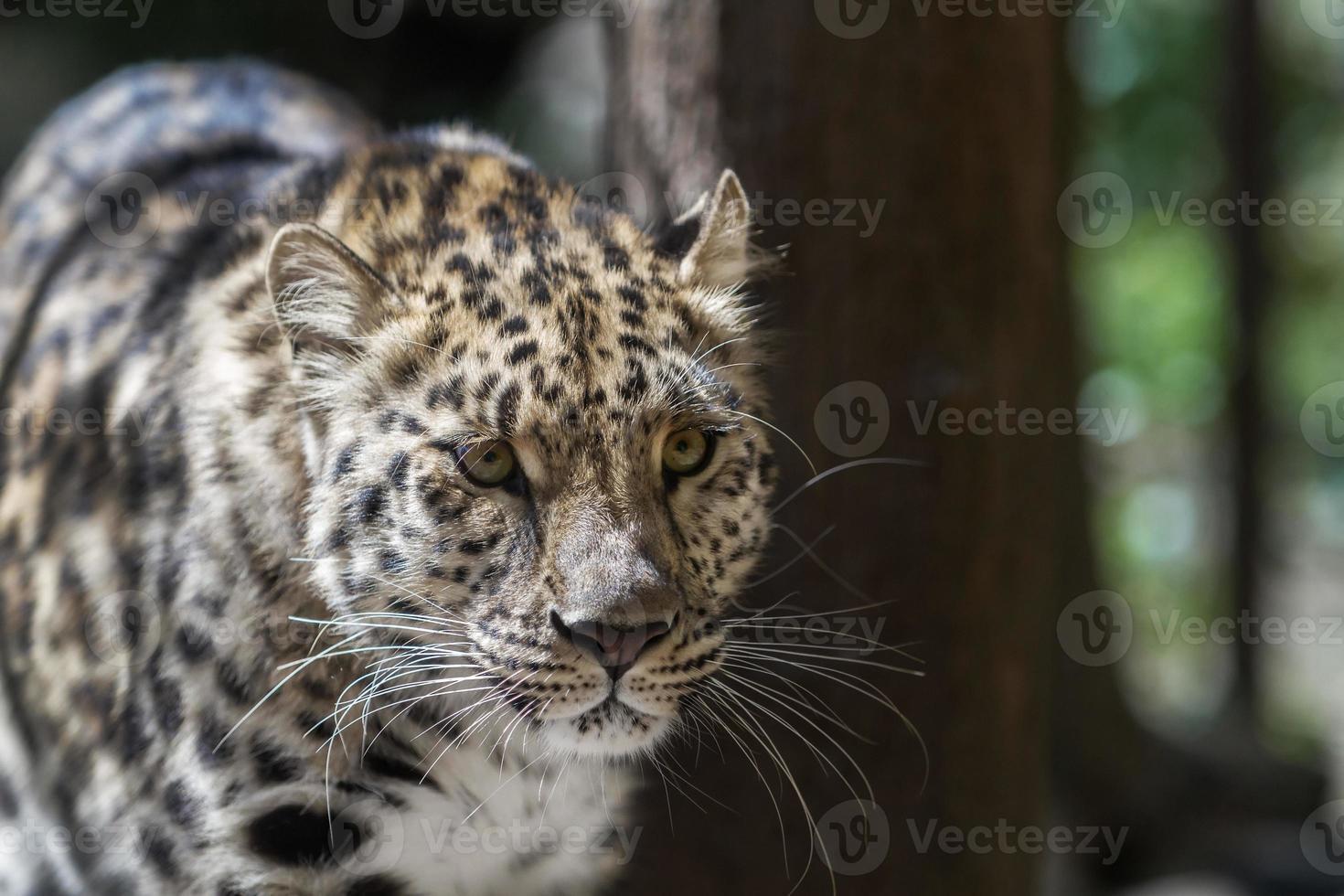 amur-Leopard foto