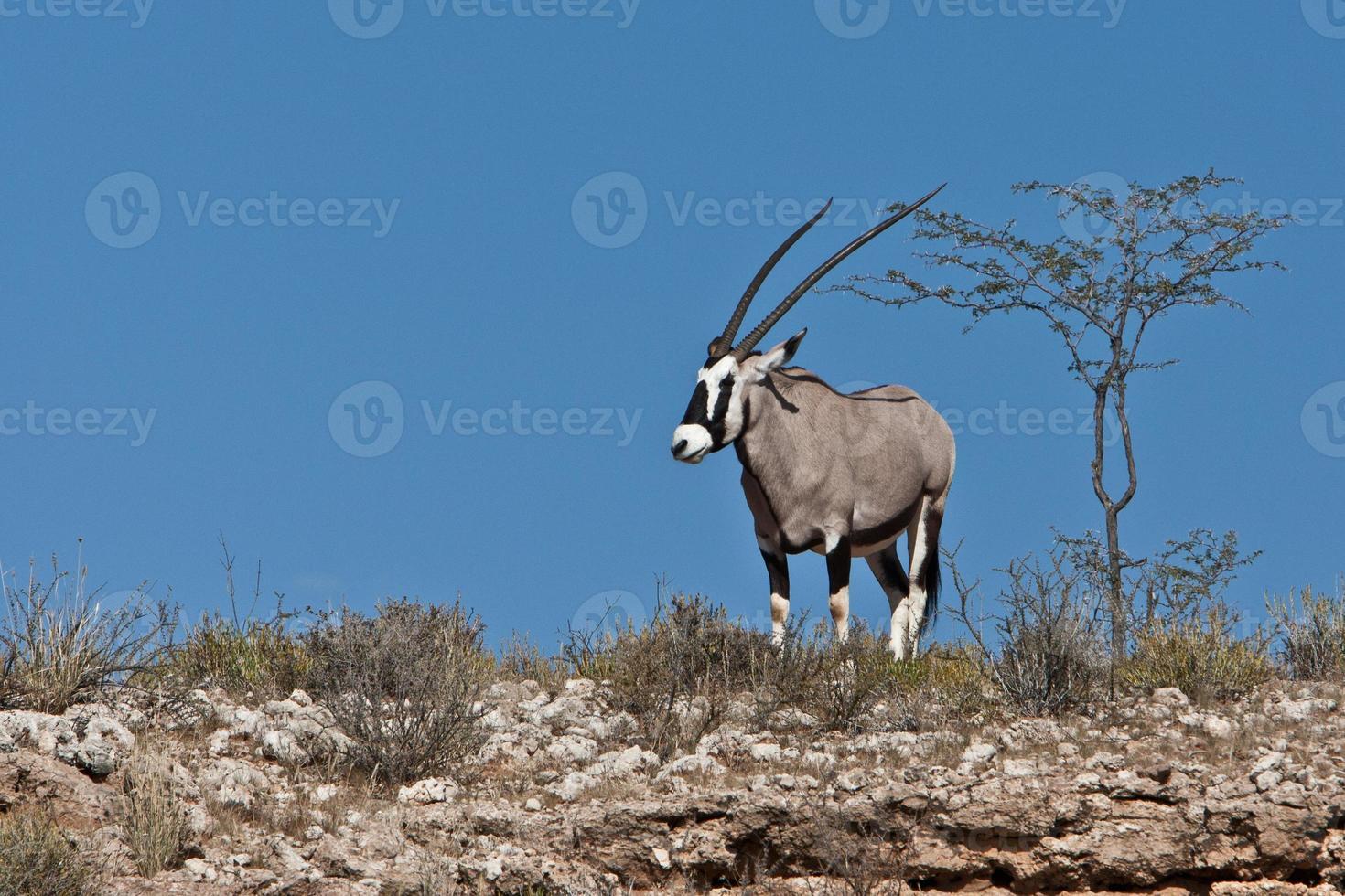 Kalahari Gemsbok foto