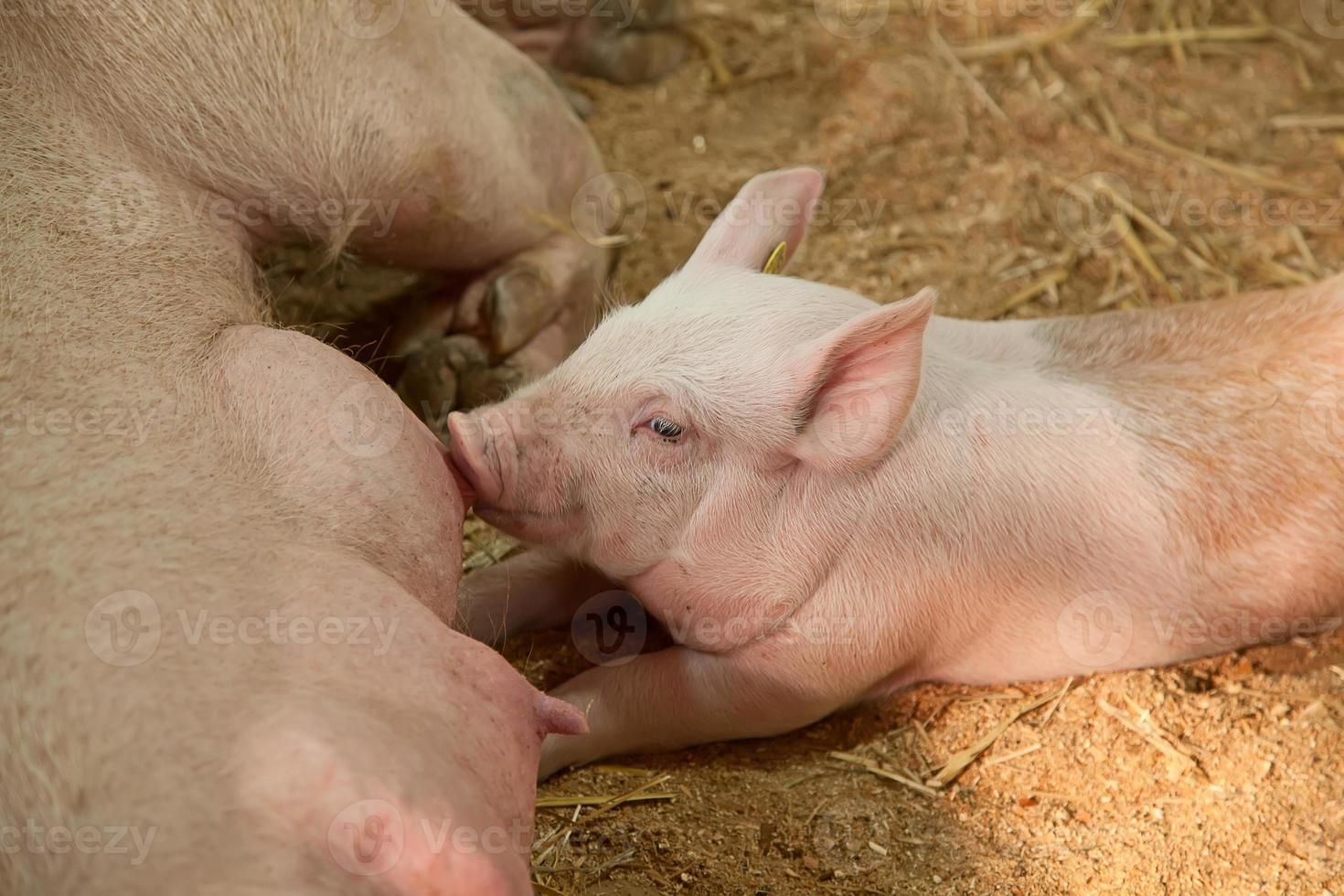 junge Schweine foto