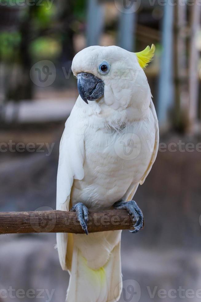 Gesicht des Kakadus mit gelbem Haube foto