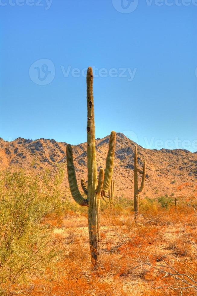 Saguaro kaktus foto