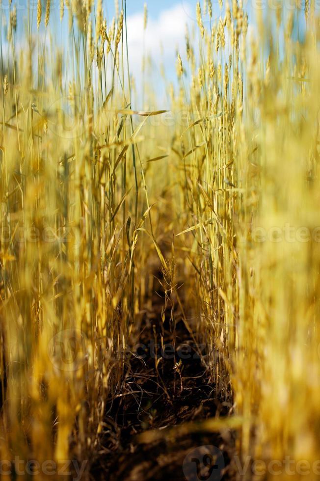Anzahl Getreide foto