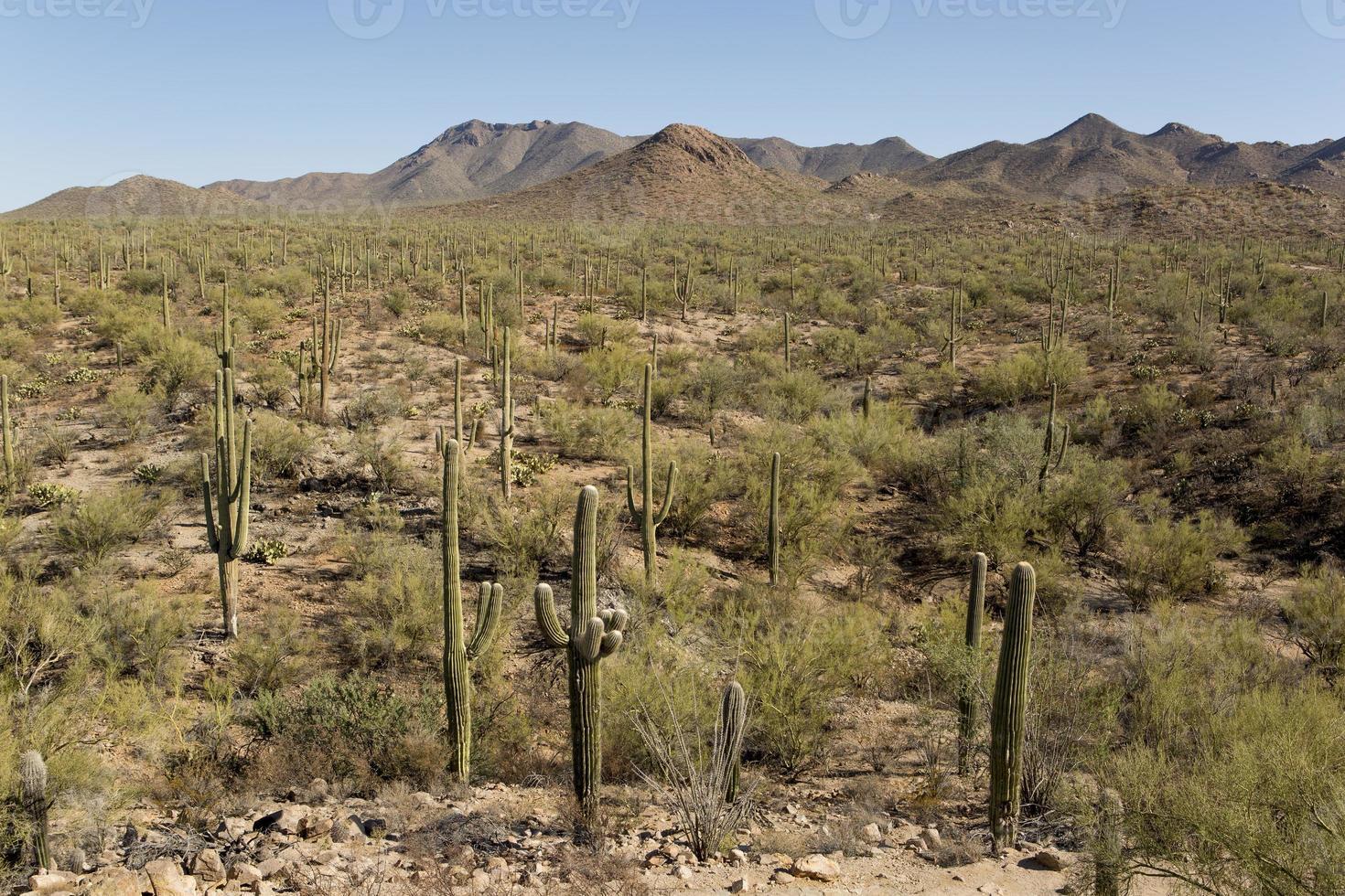 Wüste mit Saguaro-Kaktus foto