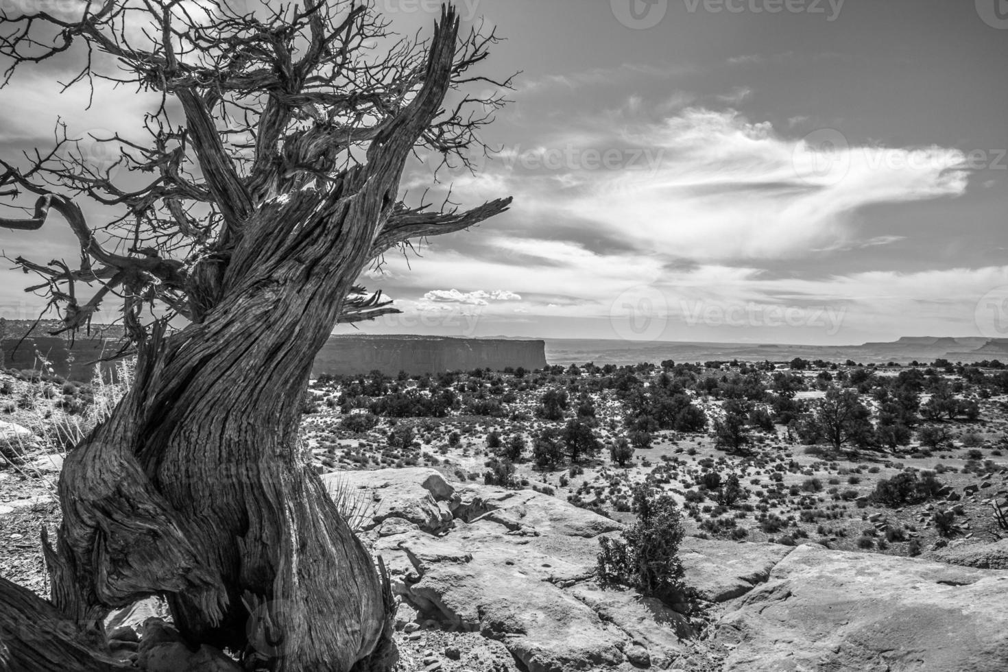 knorriger Baum gegen eine Mesa-Landschaft im Canyonlands-Nationalpark foto