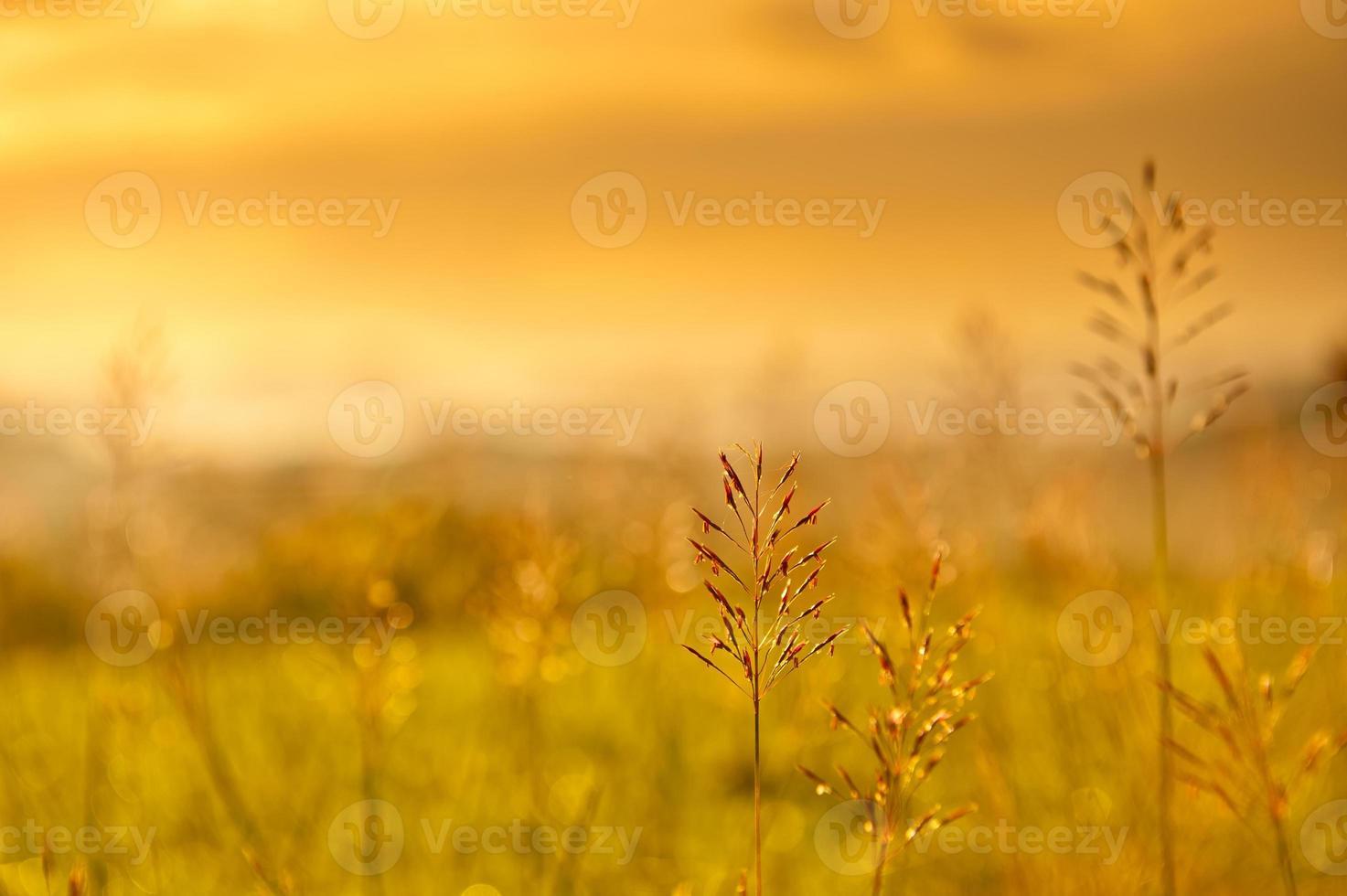 Grasfahnen bei Sonnenuntergang foto