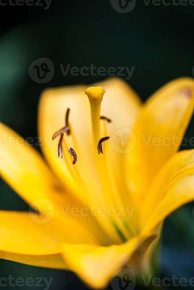 Nahaufnahme der schönen gelben Lilienblume auf Hintergrundgrün foto