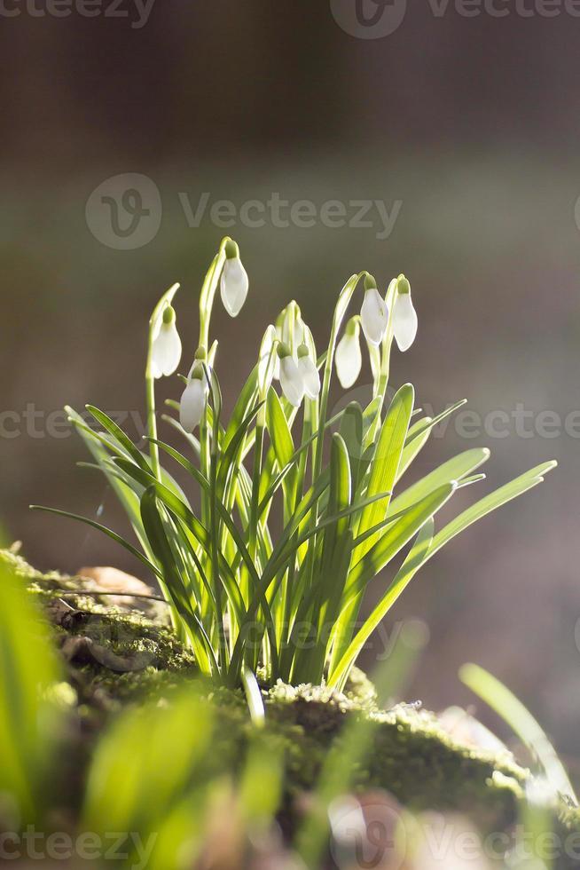 Frühlingsschneeglöckchen foto