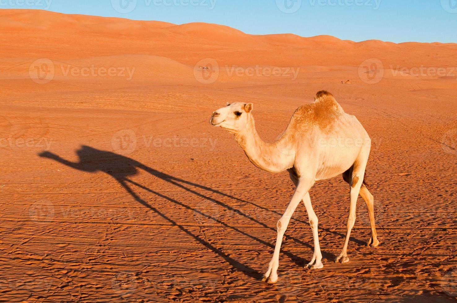 Kamel in der Wüste foto