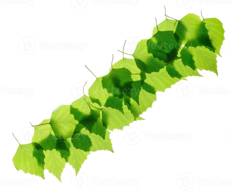 Reihe von grünen Birkenblättern foto