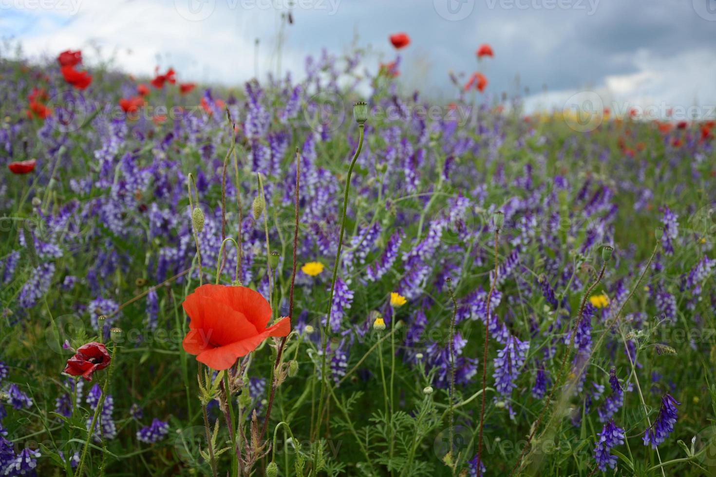 ländliche Landschaft - Lavendel und rote Mohnblumen foto
