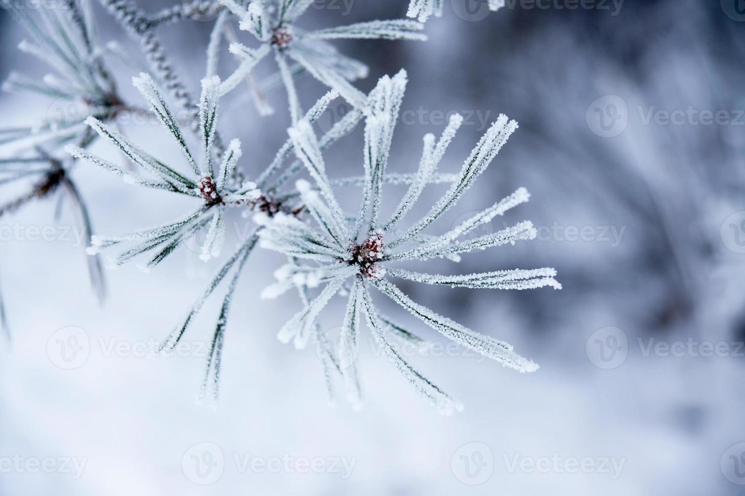 Nadeln im Winter foto
