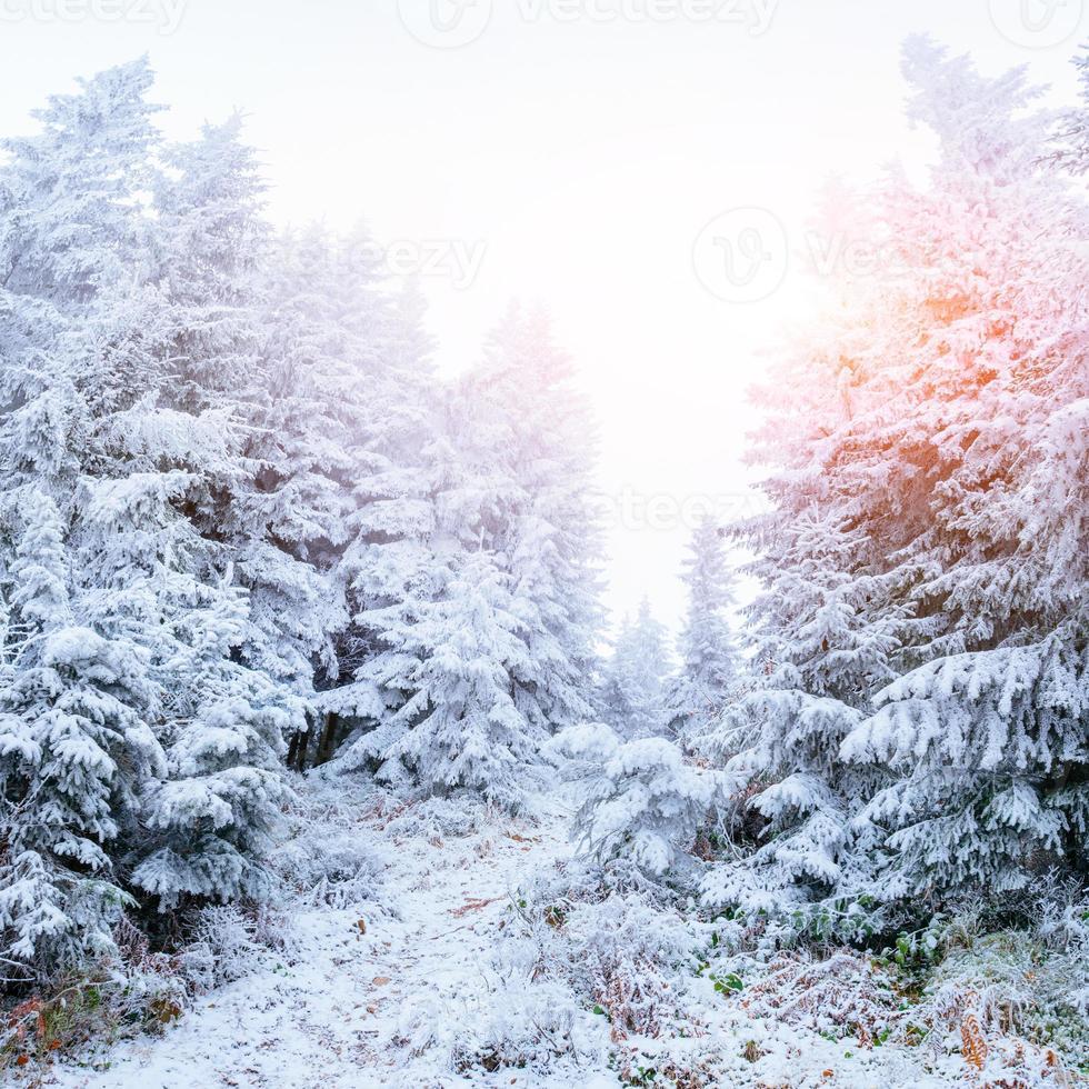 Winterwald mit Schnee bedeckt. foto
