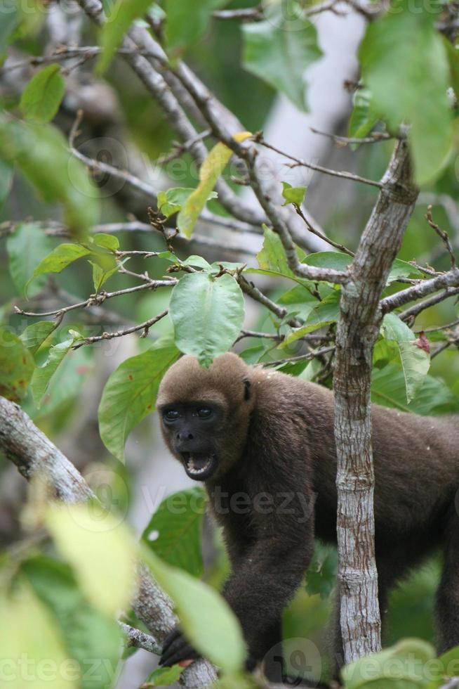 Wollaffe in Amazon foto