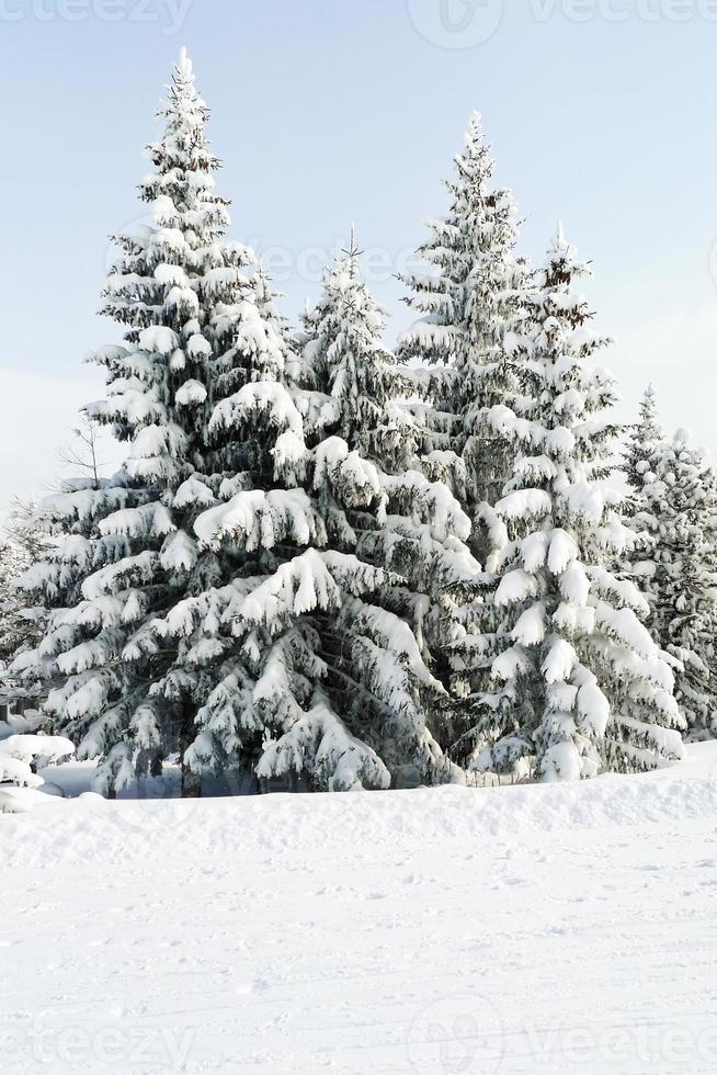 schneebedeckte Tannen in der Gegend über Lattea, Italien foto