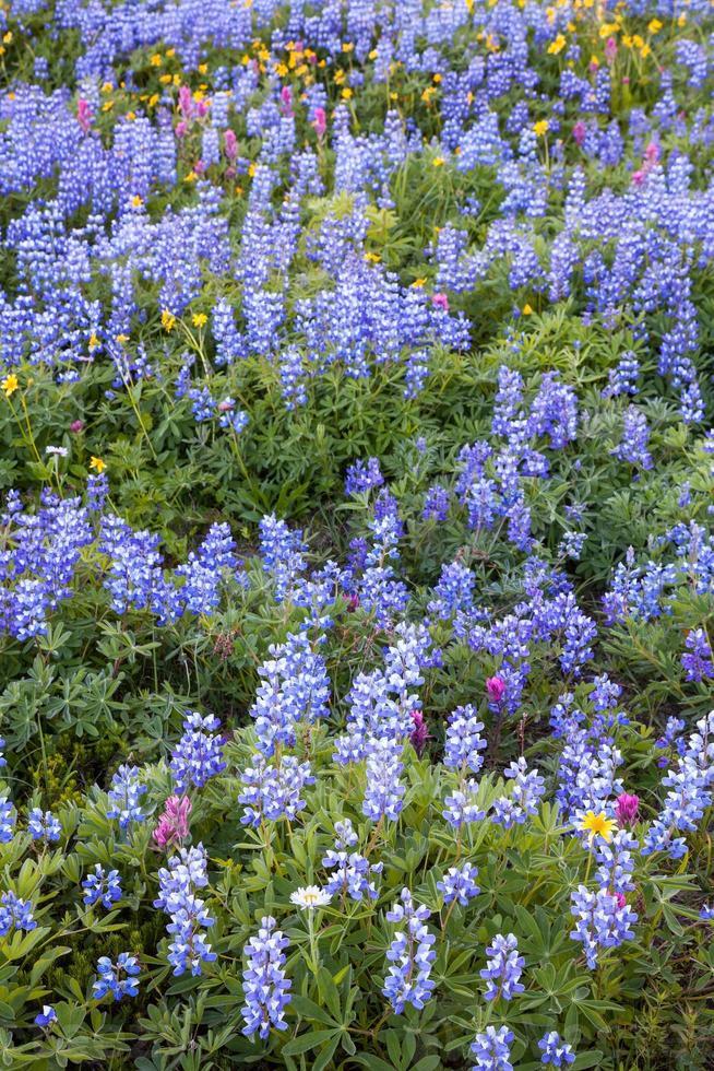 alpine Wildblumen foto
