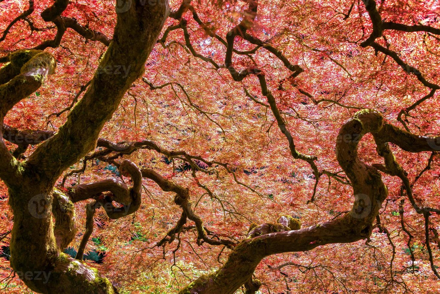 roter japanischer Ahornbaum foto