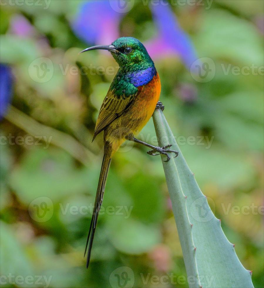 Orangenvogel foto