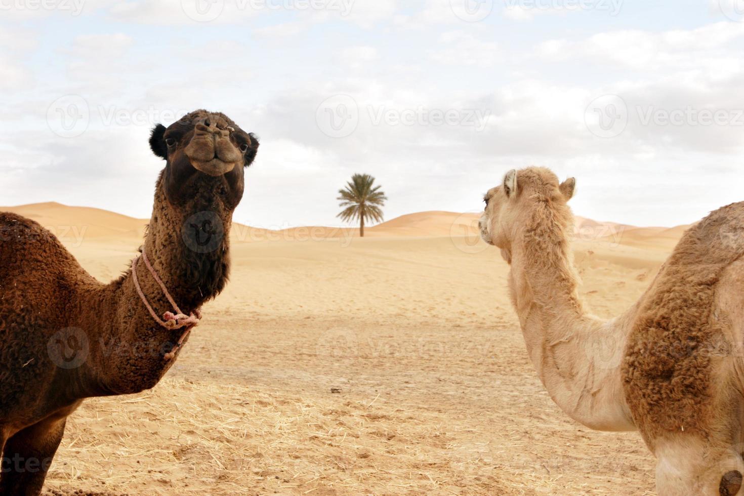 Schiffe der Wüste beim Festmachen foto