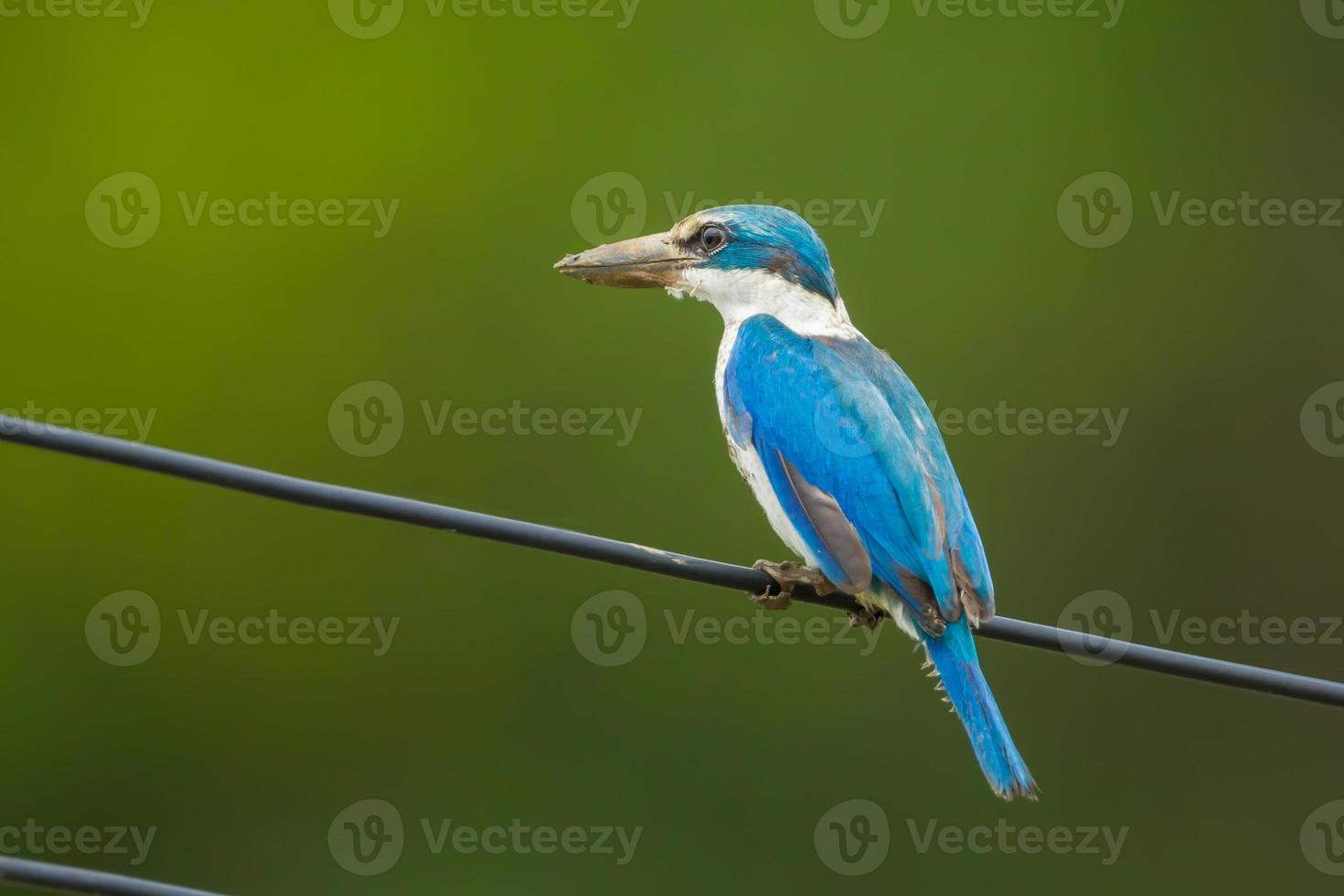 Krageneisvogel foto