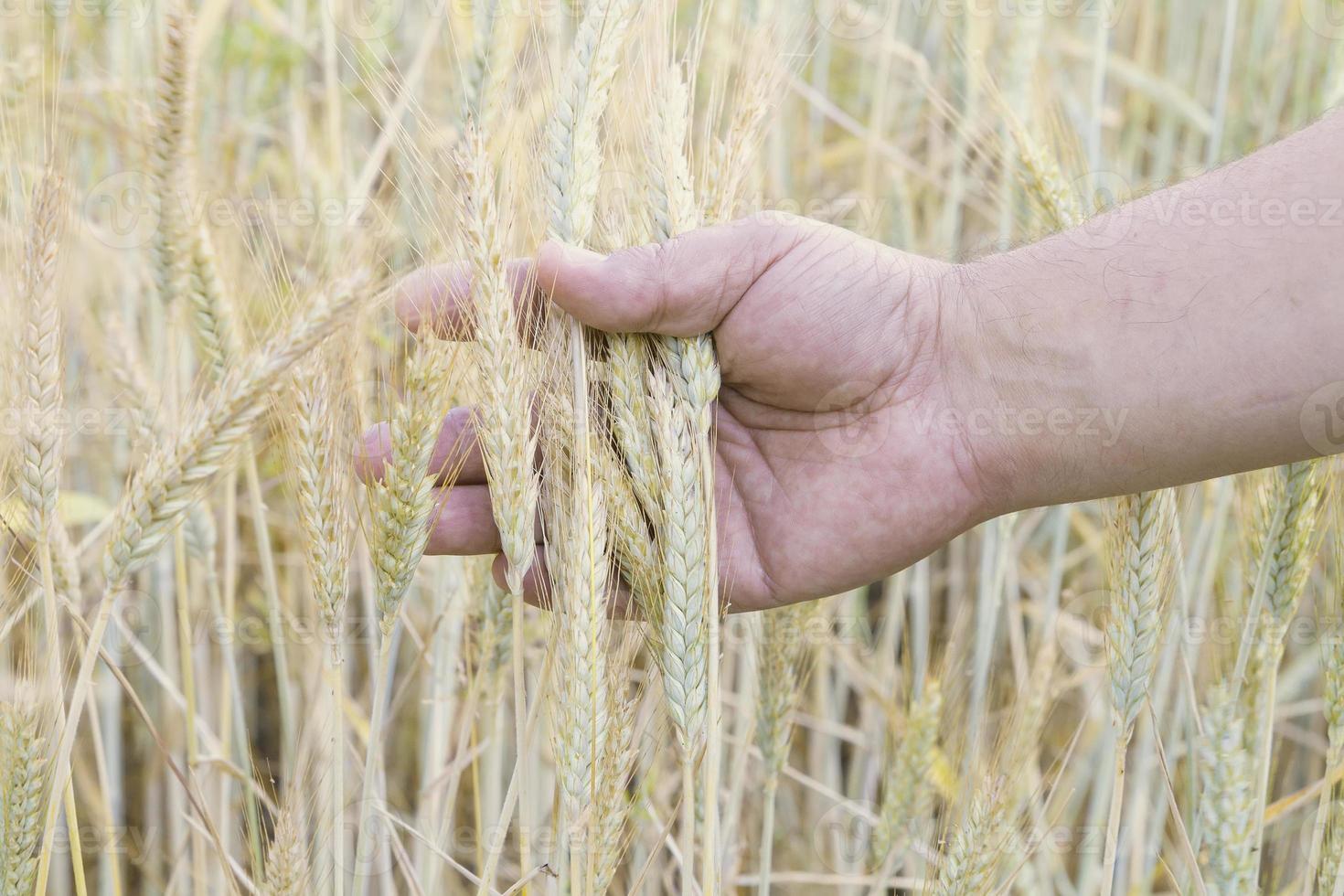 Weizen in der Hand der Männer foto