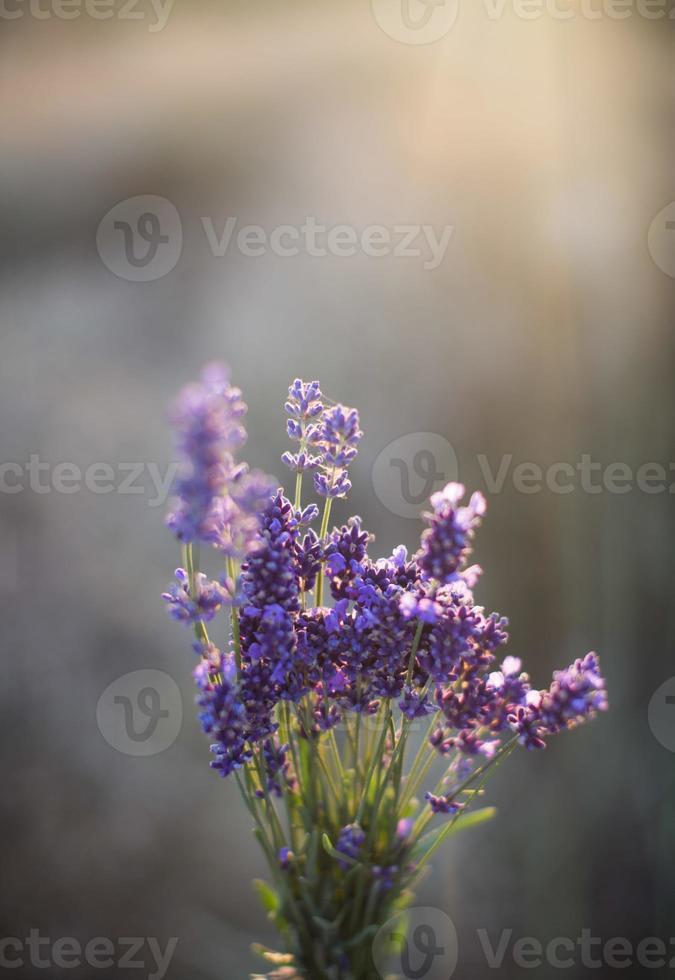 Sonnenuntergang Lavendel Bouquet foto