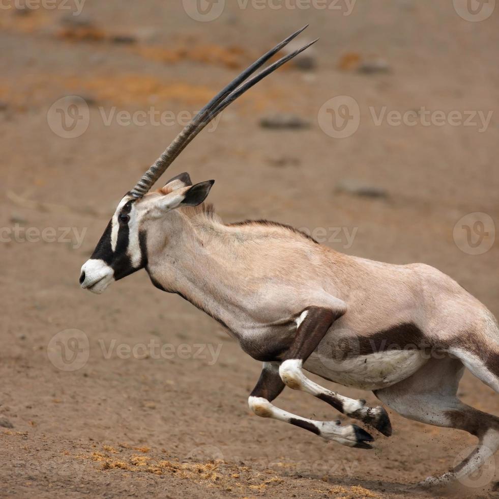 gemsbok läuft foto