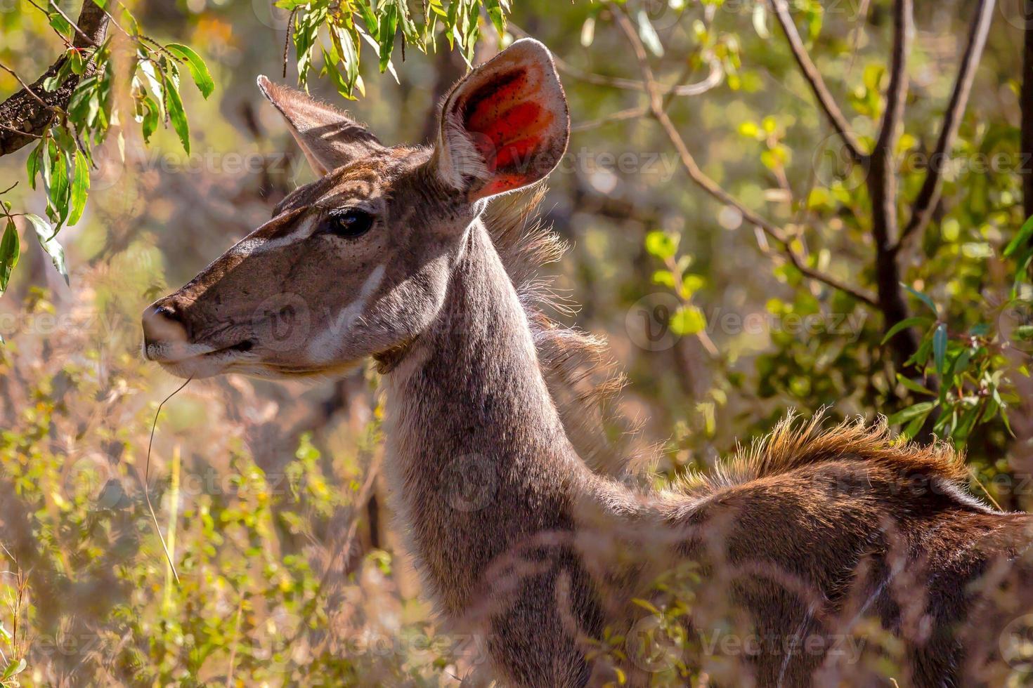 weibliches Kudu foto