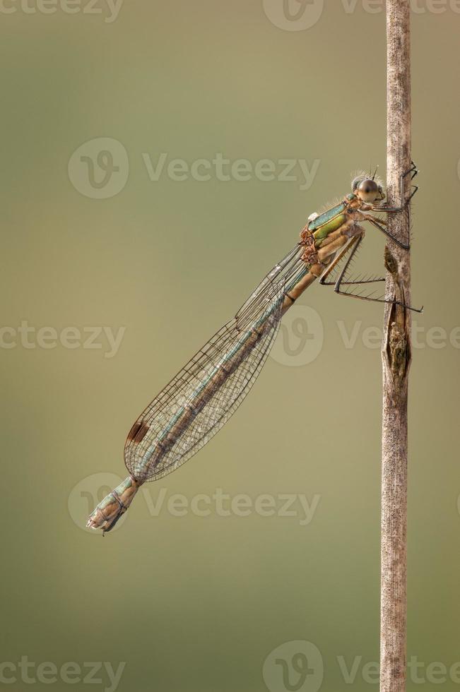 weiblicher Smaragd Damselfly foto